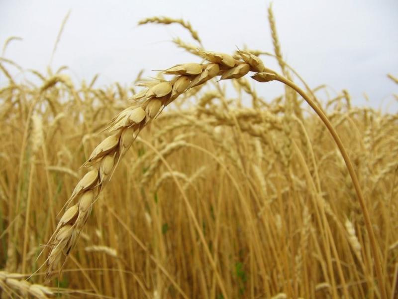 Колосок пшеницы в поле